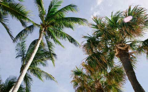 Fort Lauderdale Palm Trees